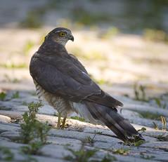 Mrs Sparrowhawk (hedera.baltica) Tags: sparrowhawk eurasiansparrowhawk northernsparrowhawk krogulec kroguleczwyczajny jastrząbwróblarz accipiternisus
