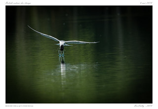 Sterne pierregarin | Sterna hirundo |  Common Tern