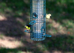 Lesser Goldfinch (austexican718) Tags: texas native fauna centraltexas hillcountry wildlife backyard bird birdfeeder bokeh goldfinch finch