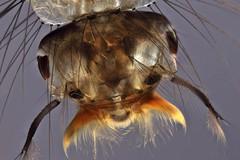 Mosquito larva (mr.sansibar) Tags: jansjö planapo pond aquatic arthropoda diptera focusstacking insect olympusbh2 photomicrography microscopy heliconfocus larva polarizedlight culex culicidae mosquito