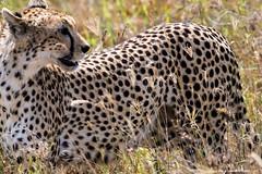 2017.06.23.5544 Cheetah (Brunswick Forge) Tags: 2017 safari grouped africa tanzania serengeti nature wildlife favorited