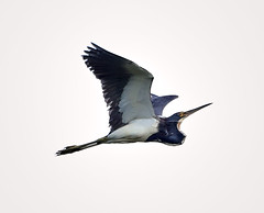 06-18-18-0023066 (Lake Worth) Tags: animal animals bird birds birdwatcher everglades southflorida feathers florida nature outdoor outdoors waterbirds wetlands wildlife wings