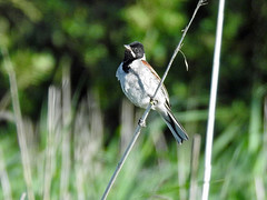 Reed Bunting (Emberiza schoeniclus) Male (Brian Carruthers-Dublin-Eire) Tags: bird wildlife emberizidae emberiza schoeniclus reed bunting bruant des roseaux rohrammer escribano palustre rietgors gealóg ghiolcaí passeriformes emberizaschoeniclus reedbunting bruantdesroseaux escribanopalustre gealógghiolcaí animalia animal aves avian nature