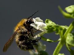 Butinage (David Bertholle) Tags: abeille bee orange basilic fleur nature butiner ngc macro makro light beautiful beaujolais sigma d7200 dof bokeh