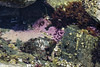 20180616 Can anyone identify this? (Robert Harwood) Tags: pink purple oakbay vancouverisland britishcolumbia canada tidepool sponge cloverpoint ocean