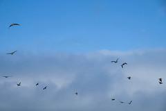 Fuji-X-E3-DSCF1293-20180720 (Drew Saunders) Tags: beach bird california carmel carmelriverstatebeach carmelbythesea ocean pelican seabird