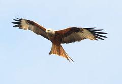 DSC_0569 (PeaTJay) Tags: nikond300s reading lowerearley berkshire outdoors nature birds birdsofprey redkite