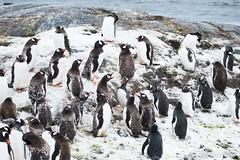 Pinguinos (robertopastor) Tags: antarctica antarctique antarktika antartic antártida fuji mikklesenharbor puertomikklesen robertopastor trinityisland xt2 xf100400 islatrinidad aq