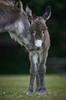 Mother and new born Donkey (paulinuk99999 (lback to photography at last!)) Tags: paulinuk99999 donkey mother newborn baby young newforest godshill british wildlife mammal freeroaming sal135f18za