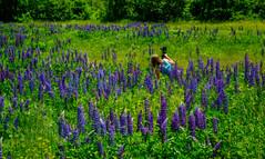 Wildflower (jtr27) Tags: dscf9748xlo jtr27 fuji fujifilm xt20 xtrans minolta md zoom 75150mm f4 f40 manualfocus lupine wildflower jefferson newhampshire nh newengland