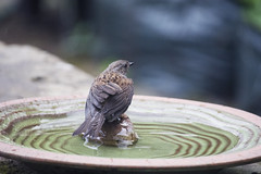 (Girl With Butterfly Wings) Tags: dunnock brown water rain bath feathers wet bathtime bathing summer