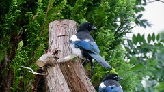 Magpies, Upper Cwmbran 19 June 2018 (Cold War Warrior) Tags: picapica magpie garden cwmbran