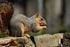 Dallas squirrel (justkim1106) Tags: squirrel animal wildlife backyard backyardwildlife nature rodent bokeh naturebokeh beyondbokeh