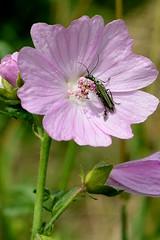 Wilde Malve Käfer (tama*) Tags: wildnisgarten wildpflanzen käfer