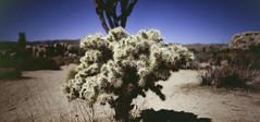 Silver Cholla Cactus (moh250lm) Tags: silver cholla cactus fuji velvia 100 mamiya 645 afd 2 stitched frames 50mm f4 shift