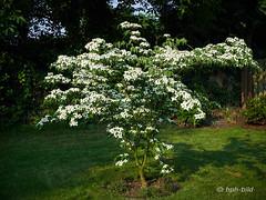 Asiatische Blüten-Hartriegel - Cornus kousa (Brenda-Gaudi) Tags: garten zuhause flora sommer cornus blüten blumenhartriegel cornuskousachinensis blütenhartriegel