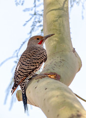 Flicker (Ed Sivon) Tags: america canon nature lasvegas wildlife wild western southwest desert clarkcounty flickr vegas bird henderson nevada