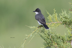 Eastern Kingbird (featherweight2009) Tags: easternkingbird tyrannustyrannus kingbirds flycatchers tyrantflycatchers insectivores birds