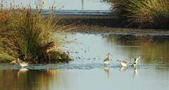 Black-Tailed Godwits at Druridge Ponds (Gilli8888) Tags: nikon p900 coolpix countryside druridge druridgeponds northumberland nature birds water waterbirds wetlands blacktailedgodwit godwit waders four