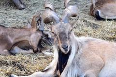 Markhor (f6gkd) Tags: markhor chevre bouc potzberg föckelberg marjor mammalia bovidae capra caprinae paille corne horn horns cornes tier animaux animal google