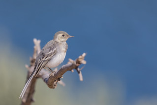 Bachstelze (Motacilla alba)