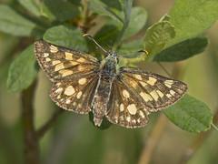 Chequered Skipper (JaneTurner68) Tags: chequeredskipper skipper butterfly insect glasdrumwood glasdrum argyll scottishhighlands scotland canonsx50 canon