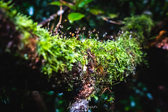Wet Rainforest Moss (aaron.wiggan) Tags: 2018 moss rainforest toby nationalpark subtropical july wet australia springbrook qld queensland