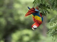 Scarlet Macaw (Ara macao) (Jorge Chinchilla A.) Tags: cuatrocruces orotina alajuela costarica américacentral scarlet macaw ara macao lapa roja avesdecostarica costaricabirds birds birdwatcher birdphoto jorgechinchilla neotropicalbirds ngc