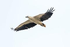 White-bellied Sea Eagle (oz-birds) Tags: birds twitcherston whitebelliedseaeagle nudgeebeach queensland australia au