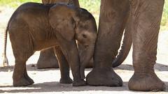 Undercover Agent (AnyMotion) Tags: africanelephant afrikanischerelefant loxodontaafricana elephants elefanten calf kalb babyelephant legs beine 2018 anymotion tarangirenationalpark tanzania tansania africa afrika travel reisen animal animals tiere nature natur wildlife 7d2 canoneos7dmarkii ngc npc