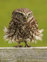 Wild little owl (waynehavenhand1) Tags: windy northumberland feathers bird wildlife wild nature'sfinest naturesfinest owlshot owl littleowl
