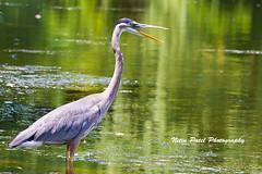 IMG_0069 (nitinpatel2) Tags: bird nature nitinpatel