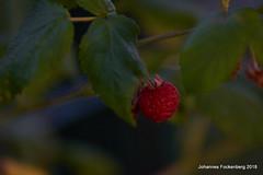 Himbeere (grafenhans) Tags: sony alpha 68 alpha68 a68 slt tamron 2870200 himbeere frucht strauch garten abendsonne abendlicht bokeh grafenwald bottrop nrw