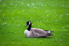 Midday Rest (Alison Claire~) Tags: outdoor outdoors nature native wild canon canoneos canoneos600d eos eos600d rebelt3i bird canadian goose canada vancouver british columbia bc migrate stanley park tourism urban wildlife life avian grass field green fanua