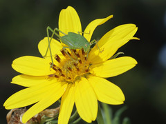 Katydid_sunflower_6772a (JKehoe_Photos) Tags: ulistacnaturalarea santaclaracounty johnjkehoephotography californianative katydid helianthussp sunflower insect pollen outdoors
