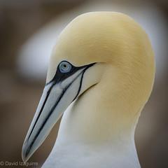 Retrato (Tabernilla (David Izaguirre)) Tags: alcatrazcomun animales aves europa irlanda salteeisland explore