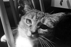 040271 06 (ndpa / s. lundeen, archivist) Tags: nick dewolf nickdewolf blackwhite monochrome blackandwhite 35mm film photographbynickdewolf bw 1971 1970s boston massachusetts beaconhill familyhome 3mtvernonsquare animal pet cat kitty whiskers may