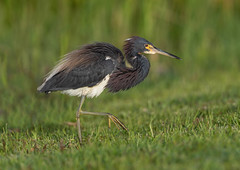 Tricolored Heron (Gary McHale) Tags: tricolored heron lakes regional park fort myers florida gary mchale