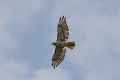 Red-tailed Hawk (maractwin) Tags: buteojamaicensis birds redtailedhawk sherbornpowerlines