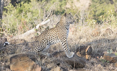 Leopard (sspike@rogers.com) Tags: leopard beautiful cat steverossi wildlife south africa krugar nature