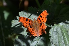Comma Butterfly (Mike Slade.) Tags: commabutterfly polygoniacalbum insect stovercountrypark newtonabbot devon ©mikeslade rspb lodmoor dorset