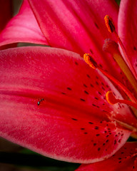 _MSP1197-Edit (MikeShimer) Tags: canon ant asiasticlily blooms botanical cu garden insect macro mikeshimer