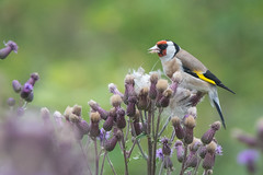 Goldfinch (Tim Melling) Tags: carduelis goldfinch west yorkshire timmelling