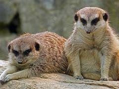 Erdmännchen (anubishubi) Tags: säugetier säuger raubtier beutegreifer opelzoo lumixfz150 erdmännchen