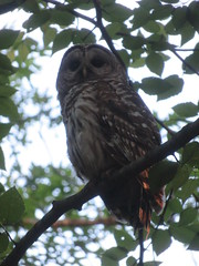 Barred Owl At Mount Holyoke Range State Park (amyboemig) Tags: range state park notch july summer barred owl mount holyoke
