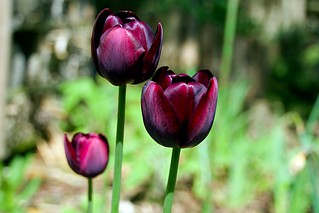 Tulips-Queen of Night