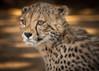 Portrait of a Young Cheetah (helenehoffman) Tags: cub animalsinaction sandiegozoo cheetah cubs animal animalambassador wildlife conservationstatusvulnerable felidae acinonyxjubatus feline bigcat africa nature carnivore mammal coth alittlebeauty coth5