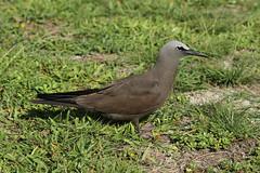 Anous stolidus (Brown Noddy) - Seychelles (Nick Dean1) Tags: tern noddy charadriiformes thewonderfulworldofbirds birdperfect birdwatcher seychelles birdisland indianocean africa animalia aves chordata