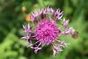 ambitious beauty (Rosmarie Voegtli) Tags: summervibes plant pink outreaching leukerbad valais wallis switzerland suisse svizzera schweiz naturephotography odc ourdailychallenge