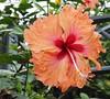 Hibiscus. (natureflower) Tags: hibiscus orange flower garden